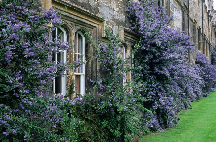 Merton college, Oxford. Ceanothus trained on wall.